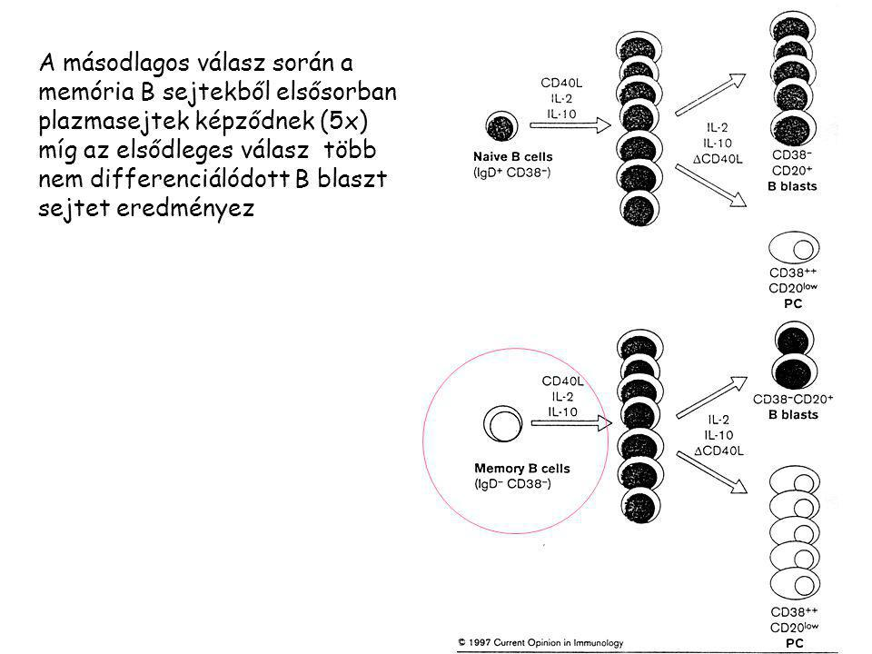 A másodlagos válasz során a memória B sejtekből elsősorban plazmasejtek képződnek (5x) míg az elsődleges válasz több nem differenciálódott B blaszt se