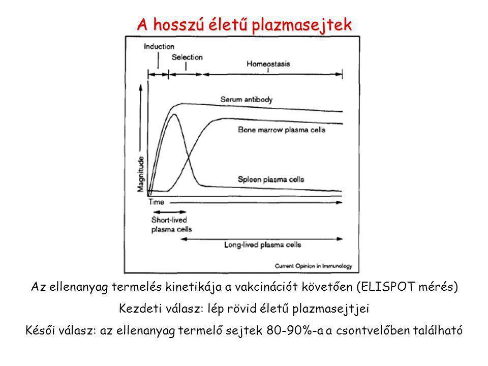 A hosszú életű plazmasejtek Az ellenanyag termelés kinetikája a vakcinációt követően (ELISPOT mérés) Kezdeti válasz: lép rövid életű plazmasejtjei Késői válasz: az ellenanyag termelő sejtek 80-90%-a a csontvelőben található