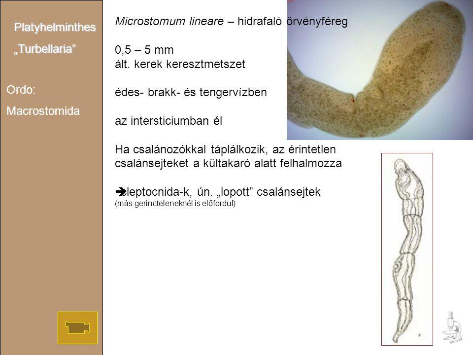 """Ordo: Macrostomida Platyhelminthes""""Turbellaria"""" Microstomum lineare – hidrafaló örvényféreg 0,5 – 5 mm ált. kerek keresztmetszet édes- brakk- és tenge"""