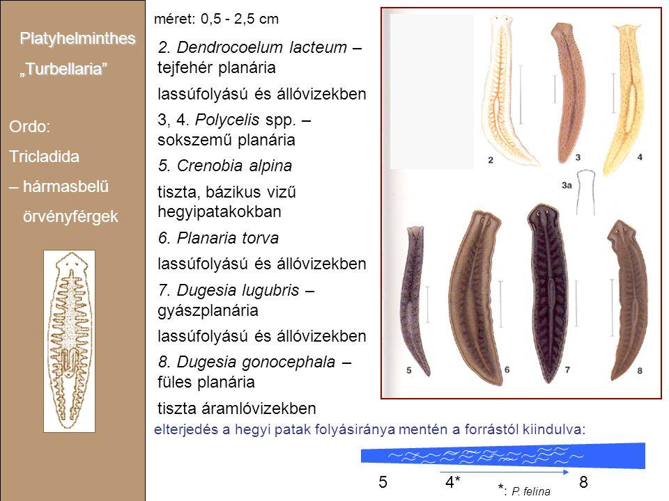 """Ordo: Tricladida – hármasbelű örvényférgek Platyhelminthes""""Turbellaria"""" 2. Dendrocoelum lacteum – tejfehér planária lassúfolyású és állóvizekben 3, 4."""