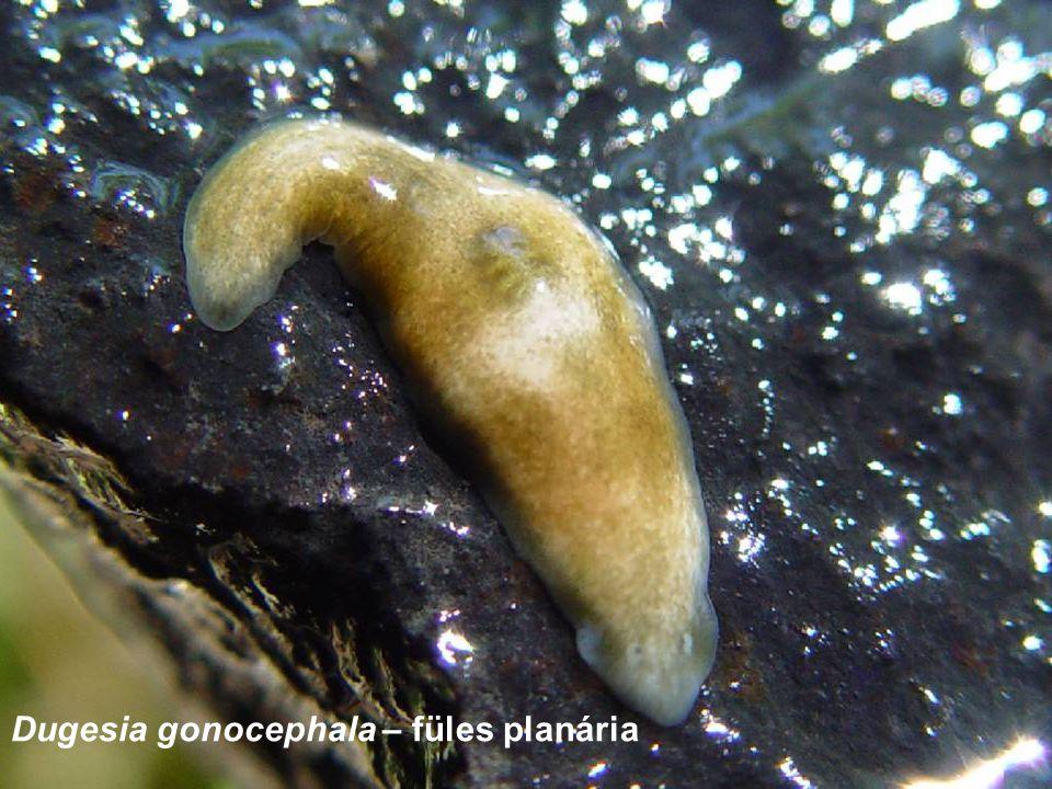 Dugesia gonocephala – füles planária