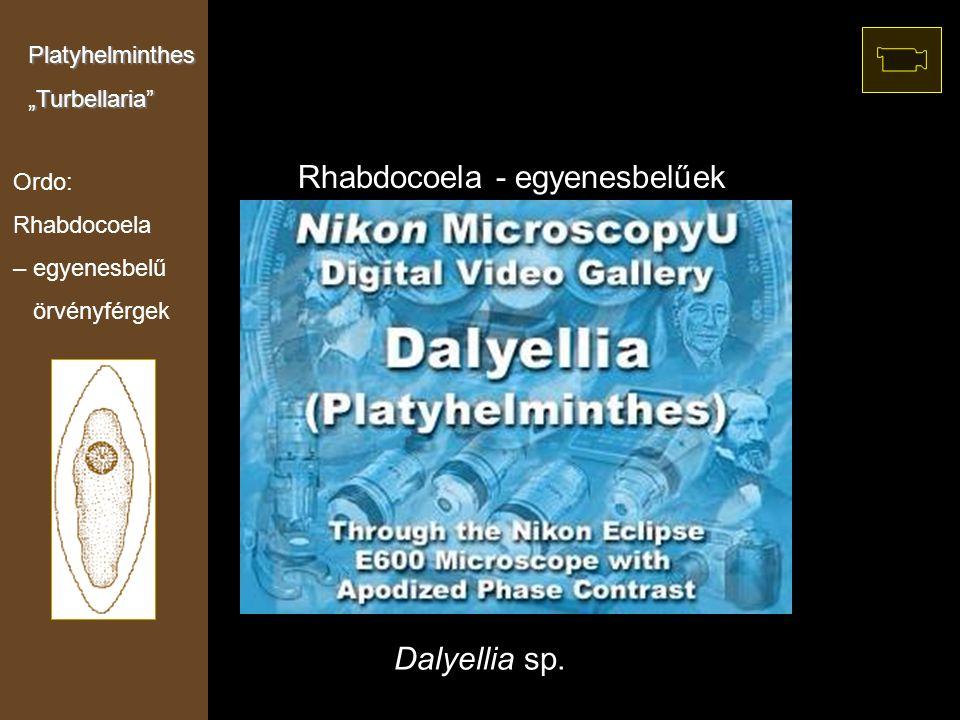 """Dalyellia sp. Rhabdocoela - egyenesbelűek Ordo: Rhabdocoela – egyenesbelű örvényférgek Platyhelminthes""""Turbellaria"""""""