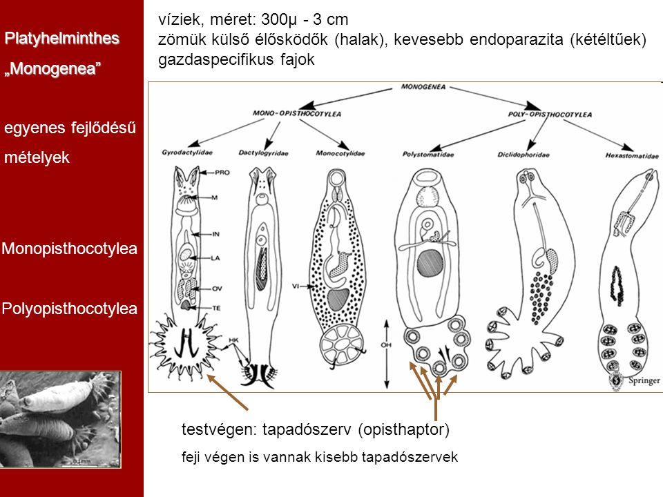 """Platyhelminthes""""Monogenea"""" egyenes fejlődésű mételyek Monopisthocotylea Polyopisthocotylea testvégen: tapadószerv (opisthaptor) feji végen is vannak k"""