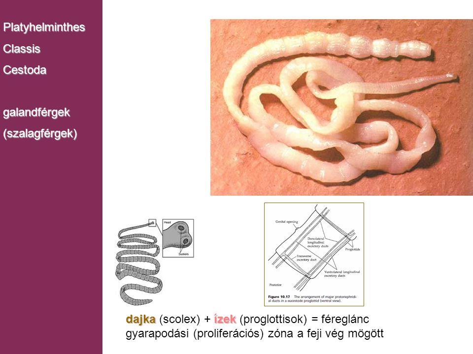 Monogenea dajkaízek dajka (scolex) + ízek (proglottisok) = féreglánc gyarapodási (proliferációs) zóna a feji vég mögött PlatyhelminthesClassisCestodag