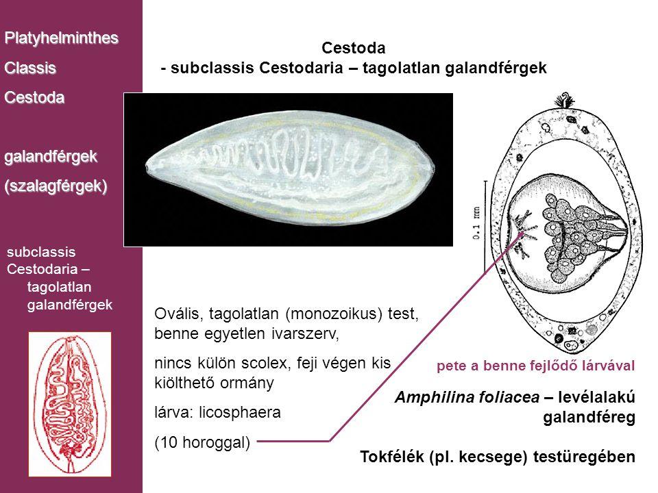 Cestoda - subclassis Cestodaria – tagolatlan galandférgek PlatyhelminthesClassisCestodagalandférgek(szalagférgek) Amphilina foliacea – levélalakú gala