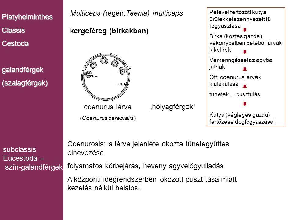 Multiceps (régen:Taenia) multiceps kergeféreg (birkákban) coenurus lárva (Coenurus cerebralis) PlatyhelminthesClassisCestodagalandférgek(szalagférgek)