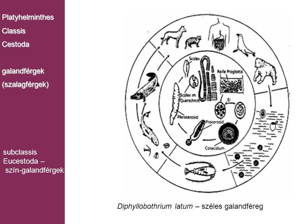 PlatyhelminthesClassisCestodagalandférgek(szalagférgek) subclassis Eucestoda – szín-galandférgek Diphyllobothrium latum – széles galandféreg