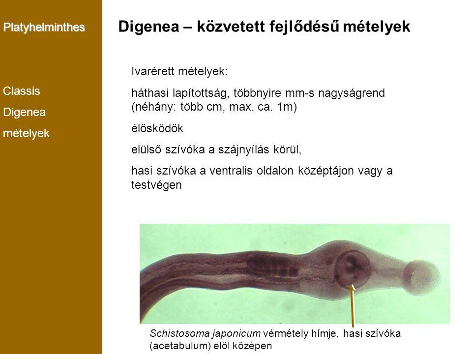 Platyhelminthes Classis Digenea mételyek Ivarérett mételyek: háthasi lapítottság, többnyire mm-s nagyságrend (néhány: több cm, max. ca. 1m) élősködők