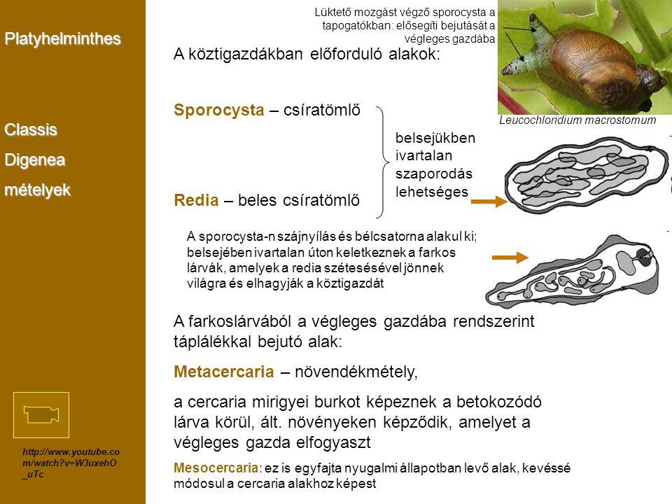 PlatyhelminthesClassisDigeneamételyek A köztigazdákban előforduló alakok: Sporocysta – csíratömlő Redia – beles csíratömlő A farkoslárvából a végleges