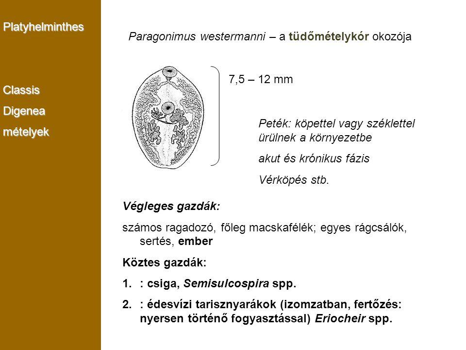 PlatyhelminthesClassisDigeneamételyek Paragonimus westermanni – a tüdőmételykór okozója 7,5 – 12 mm Végleges gazdák: számos ragadozó, főleg macskafélé