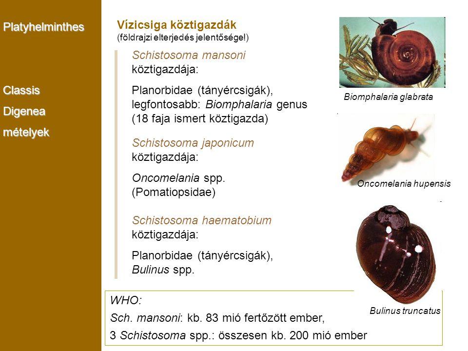 PlatyhelminthesClassisDigeneamételyek Biomphalaria glabrata Schistosoma mansoni köztigazdája: Planorbidae (tányércsigák), legfontosabb: Biomphalaria g