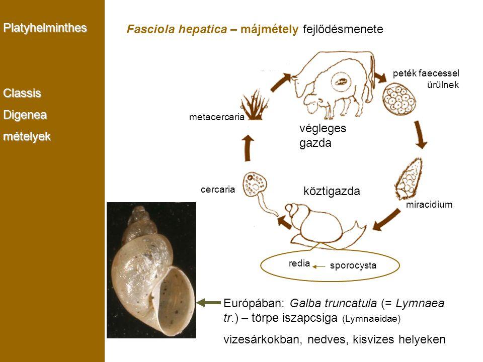 PlatyhelminthesClassisDigeneamételyek Fasciola hepatica – májmétely fejlődésmenete metacercaria cercaria redia sporocysta miracidium peték faecessel ü