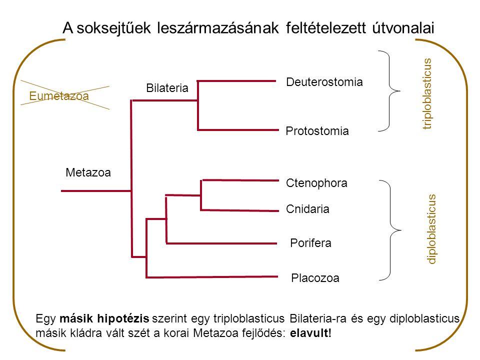 Bilateria:  kétoldalian szimmetrikus állatok  taxonómia: tagozat (divisio)  testen két fő tengely, egymásra merőlegesek: antero-posterior (elülső - hátulsó) dorso-ventralis (hát - hasi)  a fentiekre fektetett mediansagittalis sík (nyílirányú középsík) két, egymással tükörképi szimmetriát mutató oldalsó félre osztja  lehetővé válik: gyors mozgás  haladás irányába eső testvégen koncentrálódnak az érzékszervek és az idegrendszer sejtjei: kefalizáció - feji vég kialakulása