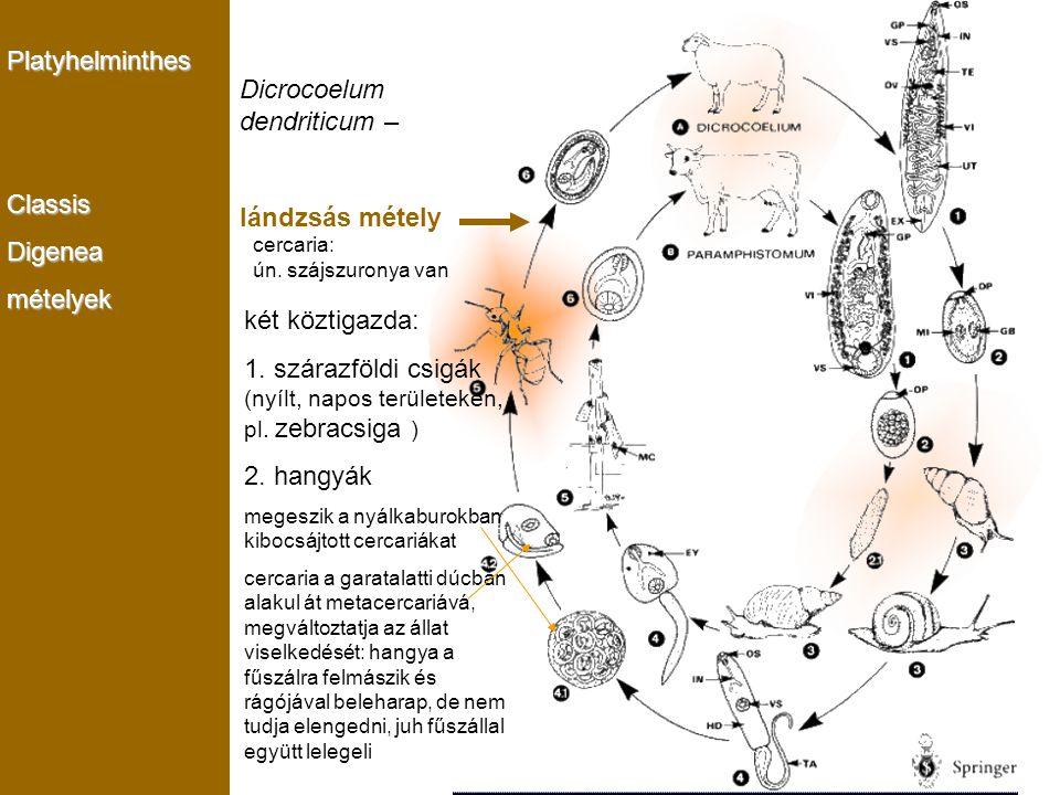 Monogenea PlatyhelminthesClassisDigeneamételyek Dicrocoelum dendriticum – lándzsás métely két köztigazda: 1. szárazföldi csigák (nyílt, napos területe