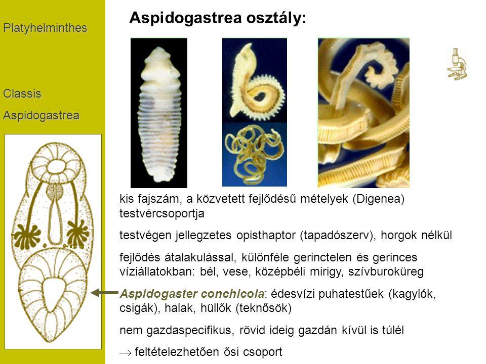 PlatyhelminthesClassisAspidogastrea Aspidogastrea osztály: kis fajszám, a közvetett fejlődésű mételyek (Digenea) testvércsoportja testvégen jellegzete