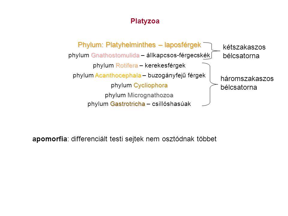 Platyzoa Phylum: Platyhelminthes – laposférgek Gnathostomulida phylum Gnathostomulida – állkapcsos-férgecskék Rotifera phylum Rotifera – kerekesférgek