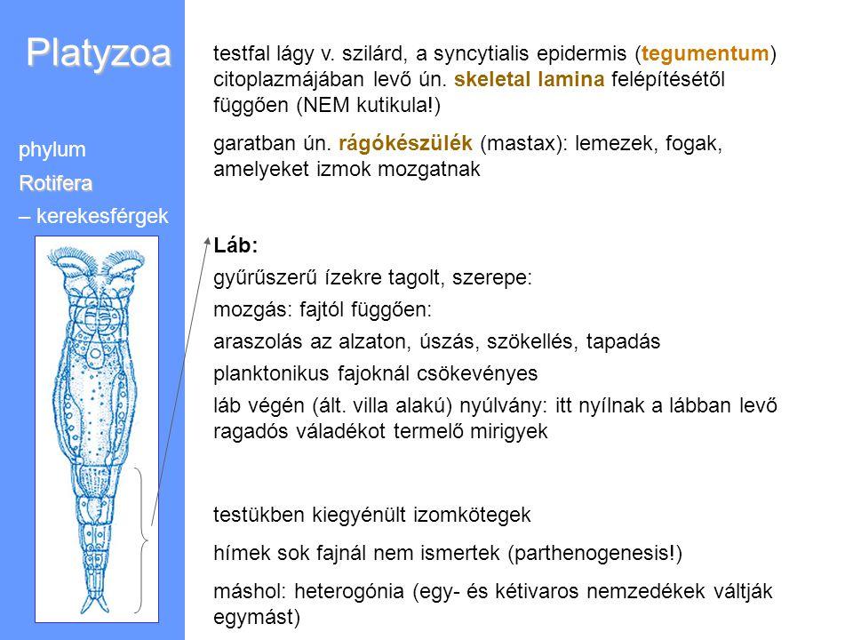 Platyzoa phylumRotifera – kerekesférgek testfal lágy v. szilárd, a syncytialis epidermis (tegumentum) citoplazmájában levő ún. skeletal lamina felépít