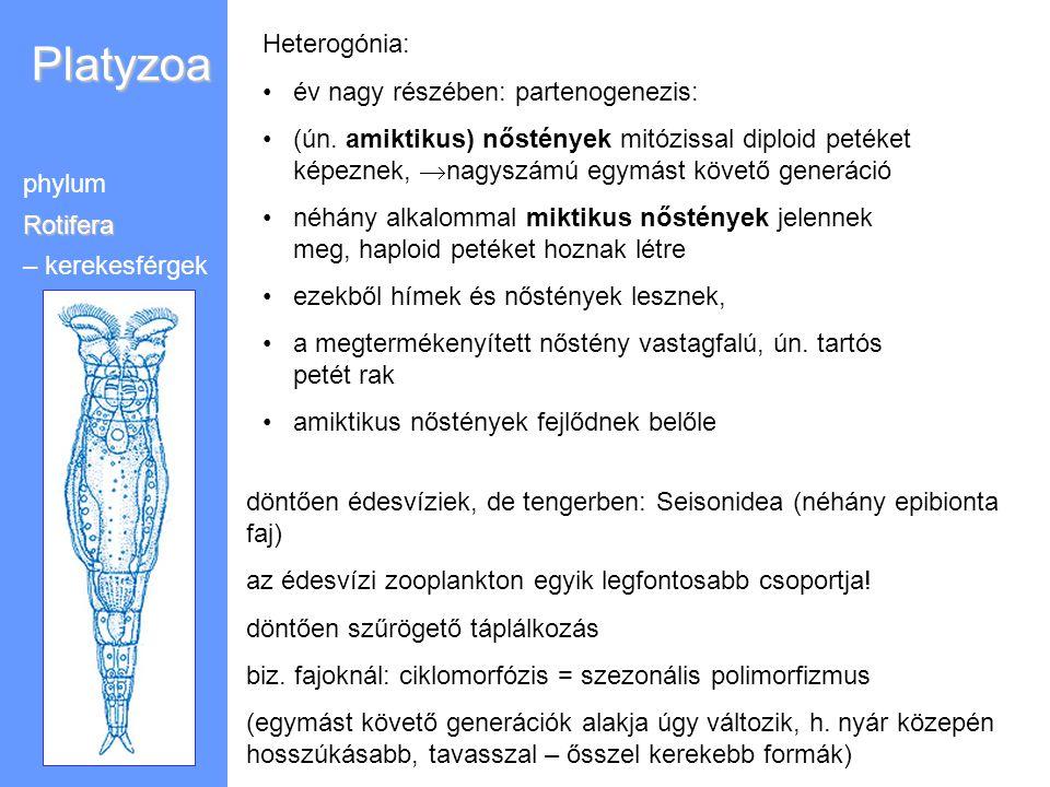 Platyzoa phylumRotifera – kerekesférgek Heterogónia: év nagy részében: partenogenezis: (ún. amiktikus) nőstények mitózissal diploid petéket képeznek,