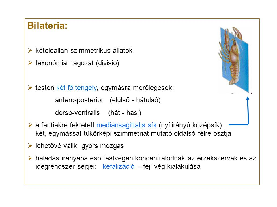 Bilateria:  kétoldalian szimmetrikus állatok  taxonómia: tagozat (divisio)  testen két fő tengely, egymásra merőlegesek: antero-posterior (elülső -