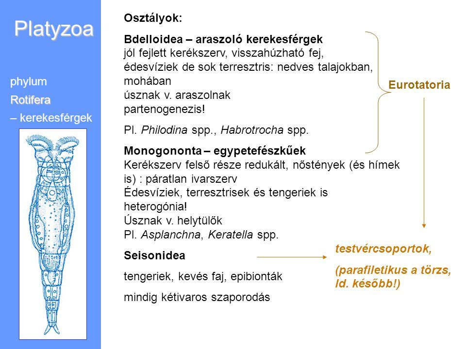 Platyzoa phylumRotifera – kerekesférgek Osztályok: Bdelloidea – araszoló kerekesférgek jól fejlett kerékszerv, visszahúzható fej, édesvíziek de sok te
