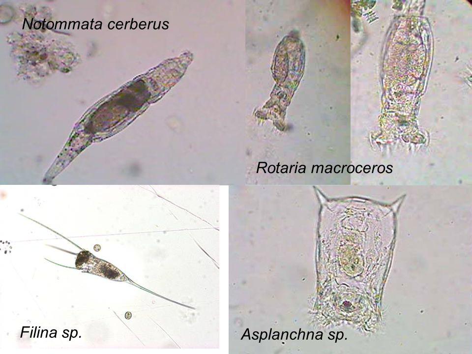 Asplanchna sp. Filina sp. Rotaria macroceros Notommata cerberus