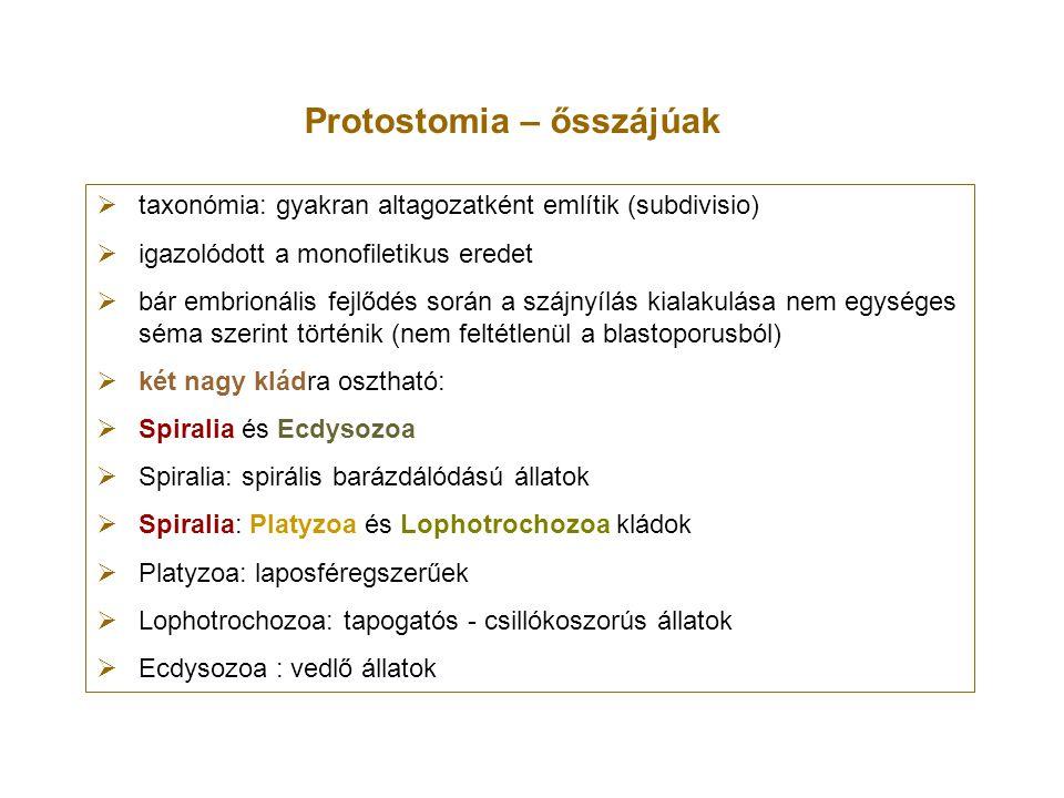 Platyzoa Platyzoa phylum: Platyhelminthes – laposférgek Gnathostomulida phylum Gnathostomulida – állkapcsos-férgecskék Rotifera phylum Rotifera – kerekesférgek Acanthocephala phylum Acanthocephala – buzogányfejű férgek Cycliophora phylum Cycliophora Micrognathozoa phylum Micrognathozoa Gastrotricha phylum Gastrotricha – csillóshasúak apomorfia: differenciált testi sejtek nem osztódnak többet