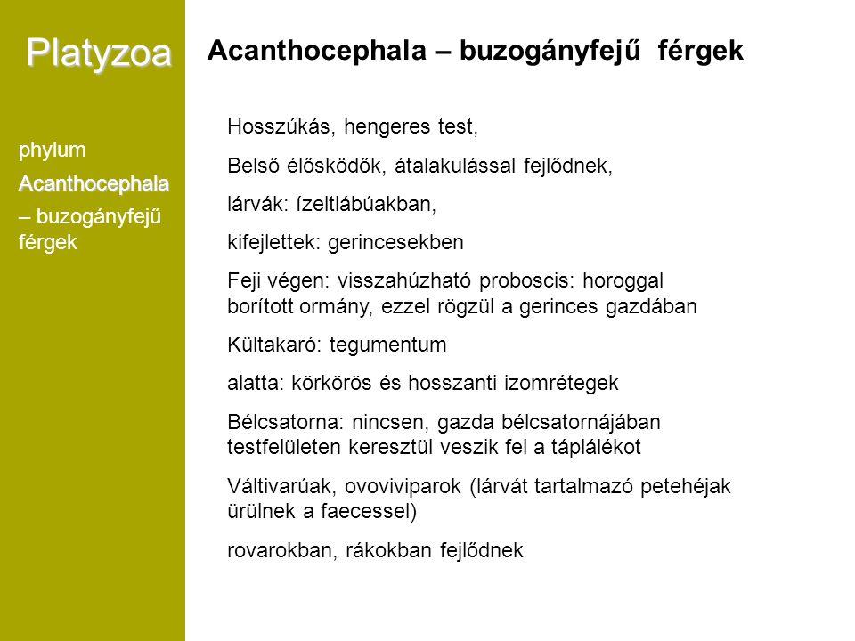 Platyzoa phylumAcanthocephala – buzogányfejű férgek Acanthocephala – buzogányfejű férgek Hosszúkás, hengeres test, Belső élősködők, átalakulással fejl