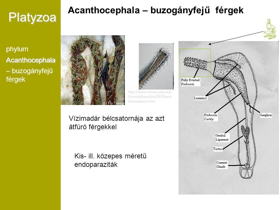 Vízimadár bélcsatornája az azt átfúró férgekkel Kb. 1200 faj http://www.miracosta.edu /home/jihara/bio292/ihara labresearch.htm Platyzoa phylumAcantho