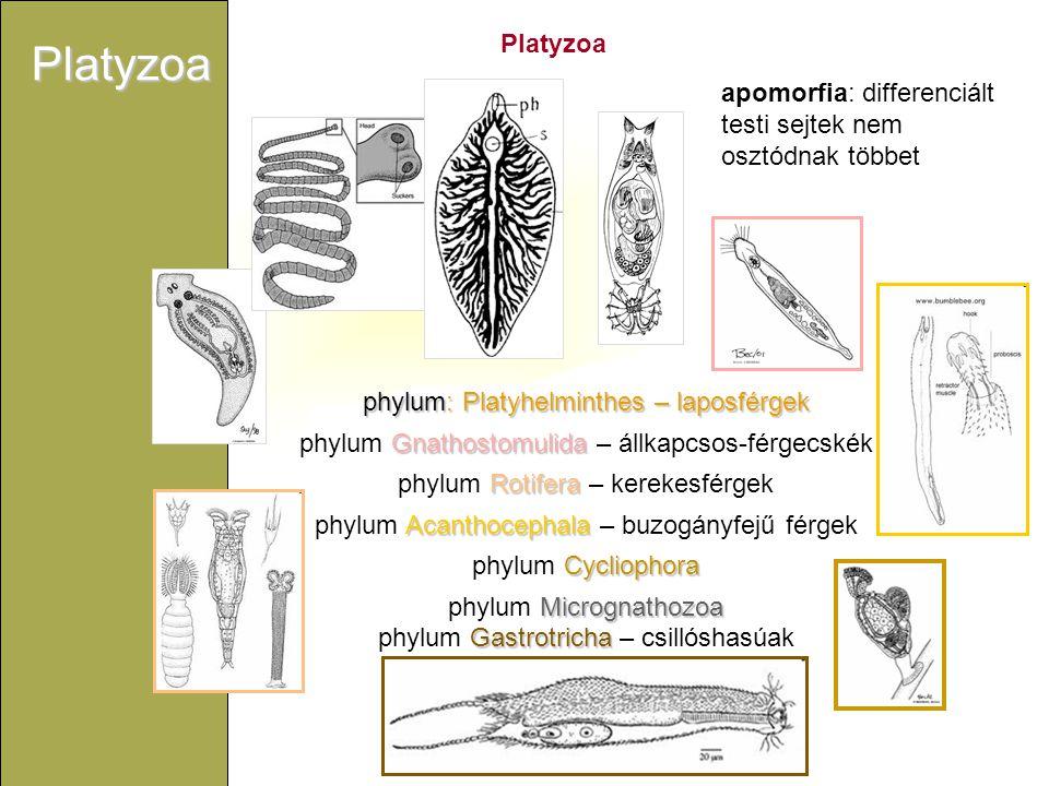 Platyzoa phylumGastrotricha – csillóshasúak Gastrotricha - csillóshasúak Filogenetikai helyzet még erősen bizonytalan: molekuláris filogenetikai eredmények még nem egyértelműek: rokonság: Micrognathozoa+Rotifera+Cycliophora -val vagy: Ecdysozoa-val.