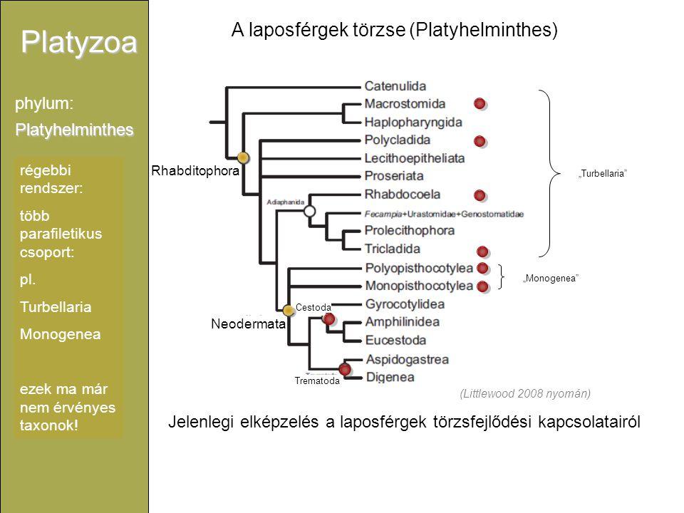 Platyzoa Platyhelminthes phylum: Rhabditophora Neodermata Trematoda Cestoda régebbi rendszer: több parafiletikus csoport: pl. Turbellaria Monogenea ez