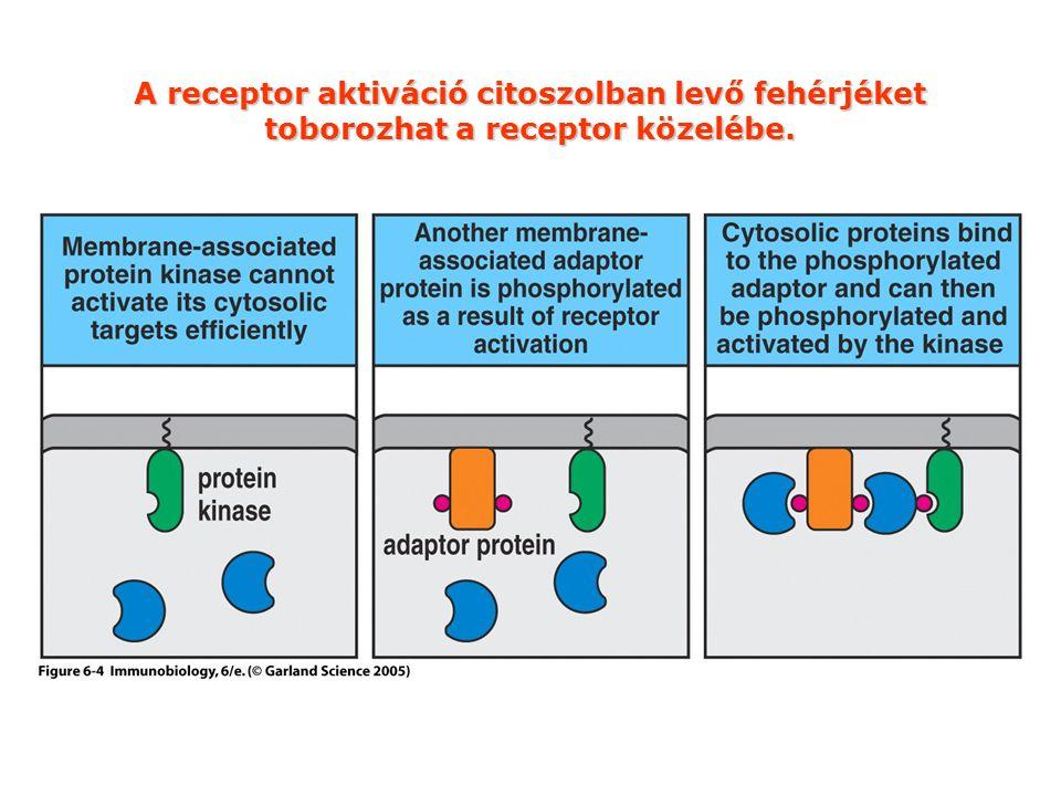 A receptor aktiváció citoszolban levő fehérjéket toborozhat a receptor közelébe.