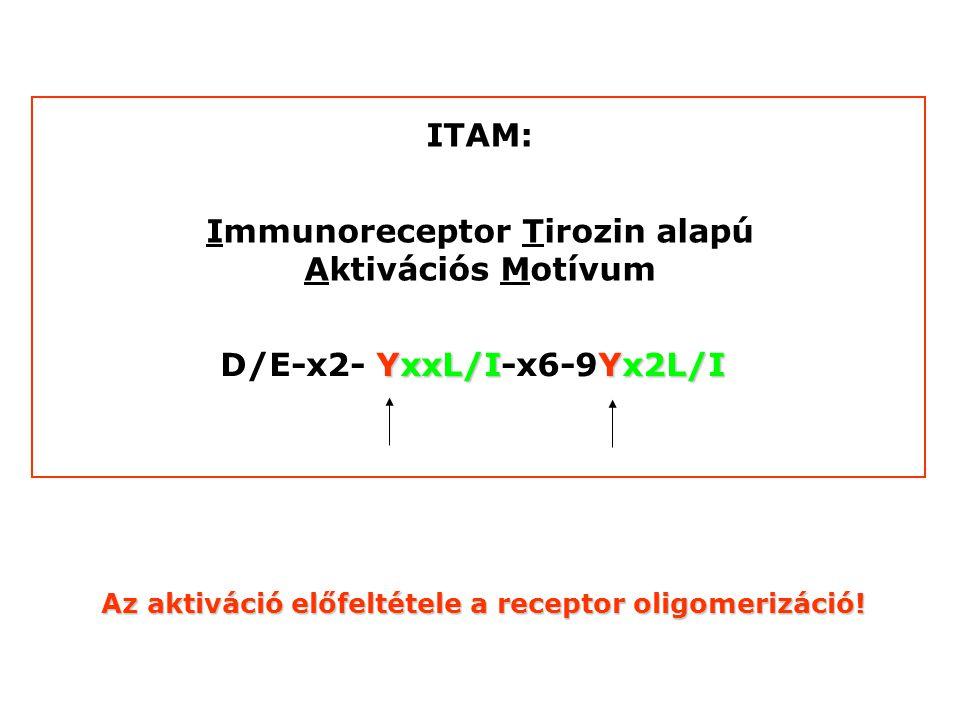 YxxL/IYx2L/I D/E-x2- YxxL/I-x6-9Yx2L/I ITAM: Immunoreceptor Tirozin alapú Aktivációs Motívum Az aktiváció előfeltétele a receptor oligomerizáció!