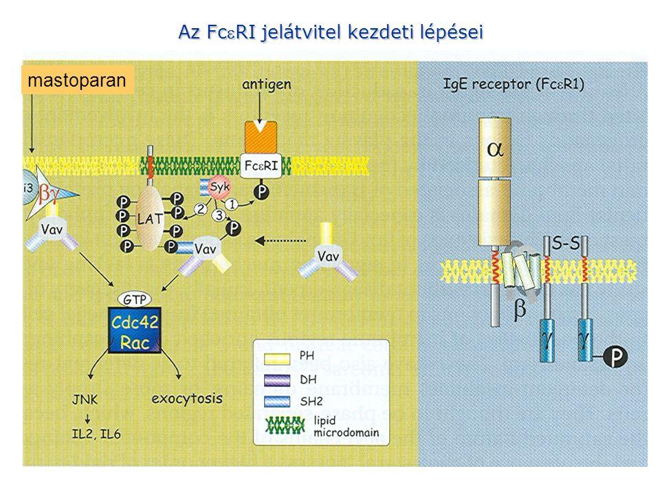 mastoparan Az FcRI jelátvitel kezdeti lépései