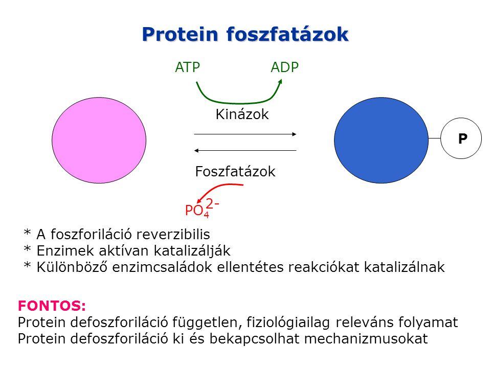 Protein foszfatázok P Kinázok Foszfatázok * A foszforiláció reverzibilis * Enzimek aktívan katalizálják * Különböző enzimcsaládok ellentétes reakciókat katalizálnak ATPADP PO 4 2- FONTOS: Protein defoszforiláció független, fiziológiailag releváns folyamat Protein defoszforiláció ki és bekapcsolhat mechanizmusokat