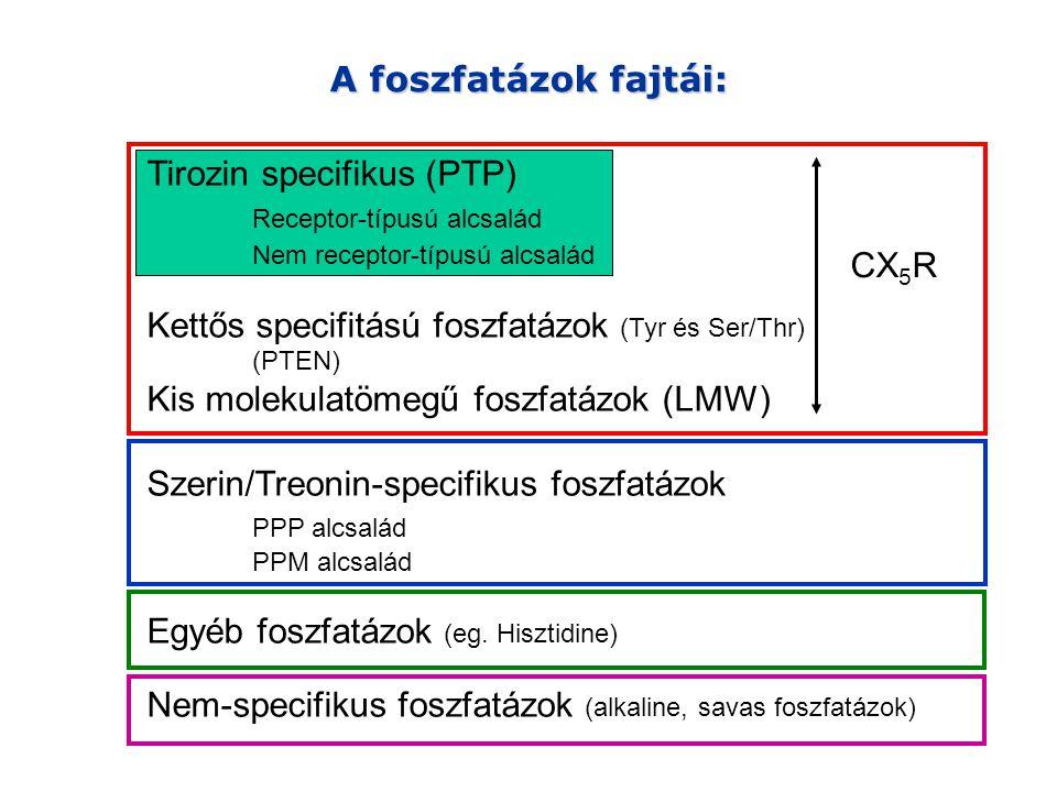 A foszfatázok fajtái: Tirozin specifikus (PTP) Receptor-típusú alcsalád Nem receptor-típusú alcsalád Kettős specifitású foszfatázok (Tyr és Ser/Thr) (PTEN) Kis molekulatömegű foszfatázok (LMW) Szerin/Treonin-specifikus foszfatázok PPP alcsalád PPM alcsalád Egyéb foszfatázok (eg.