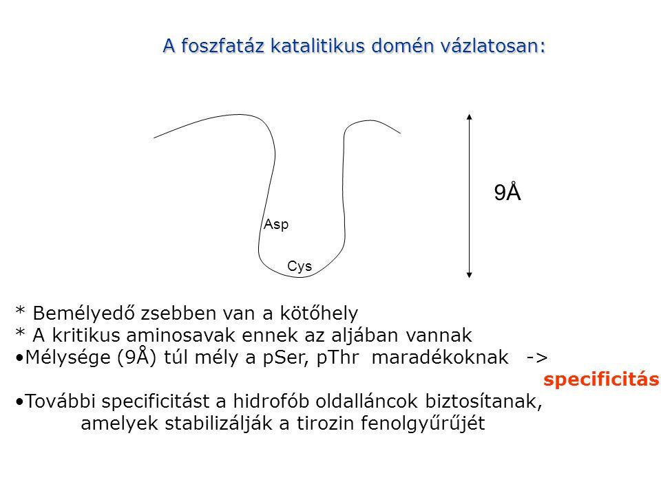 A foszfatáz katalitikus domén vázlatosan: 9Å Asp Cys * Bemélyedő zsebben van a kötőhely * A kritikus aminosavak ennek az aljában vannak Mélysége (9Å) túl mély a pSer, pThr maradékoknak -> specificitás További specificitást a hidrofób oldalláncok biztosítanak, amelyek stabilizálják a tirozin fenolgyűrűjét