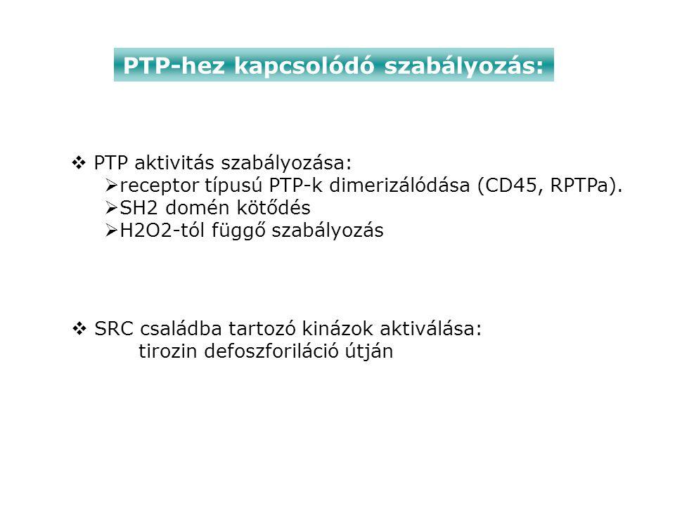 PTP-hez kapcsolódó szabályozás:  SRC családba tartozó kinázok aktiválása: tirozin defoszforiláció útján  PTP aktivitás szabályozása:  receptor típusú PTP-k dimerizálódása (CD45, RPTPa).