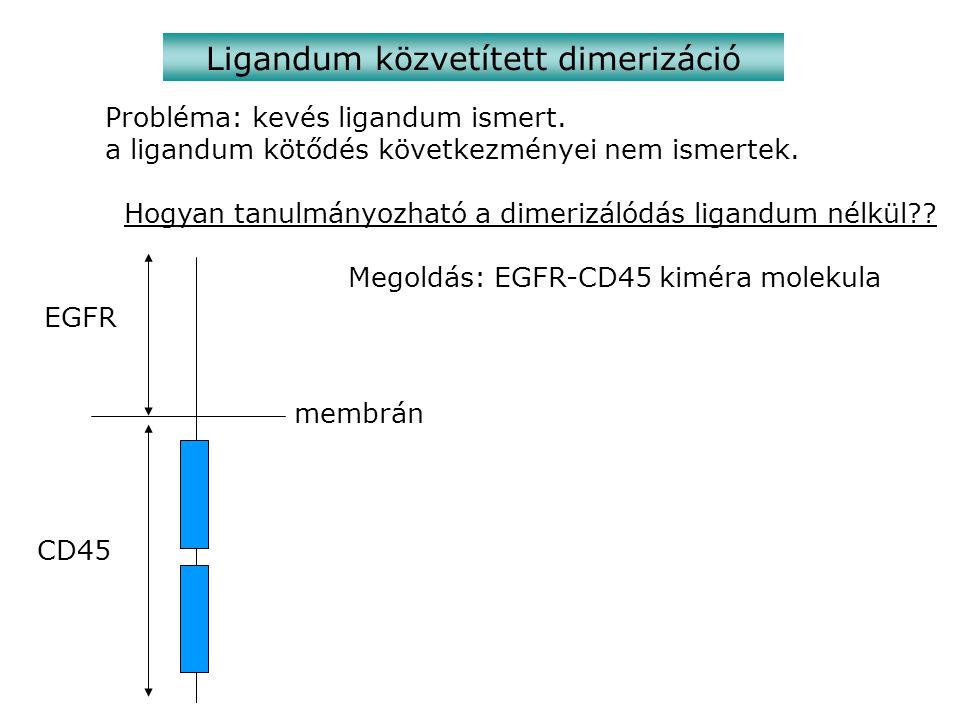 Ligandum közvetített dimerizáció Probléma: kevés ligandum ismert.