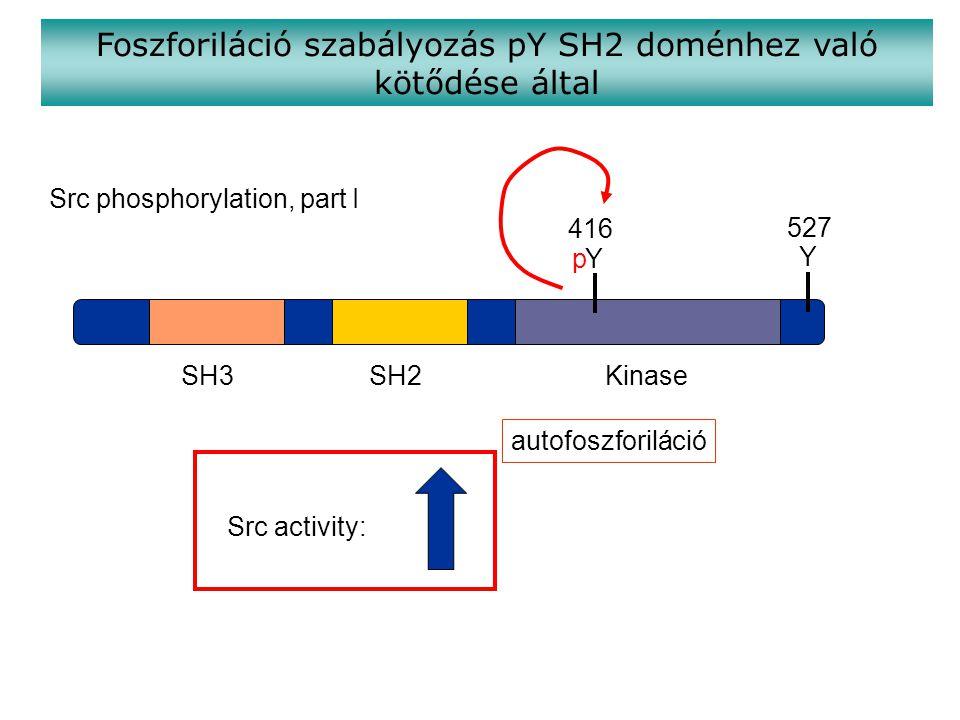 SH3SH2Kinase Y Y 416 527 p Src activity: Src phosphorylation, part I Foszforiláció szabályozás pY SH2 doménhez való kötődése által autofoszforiláció