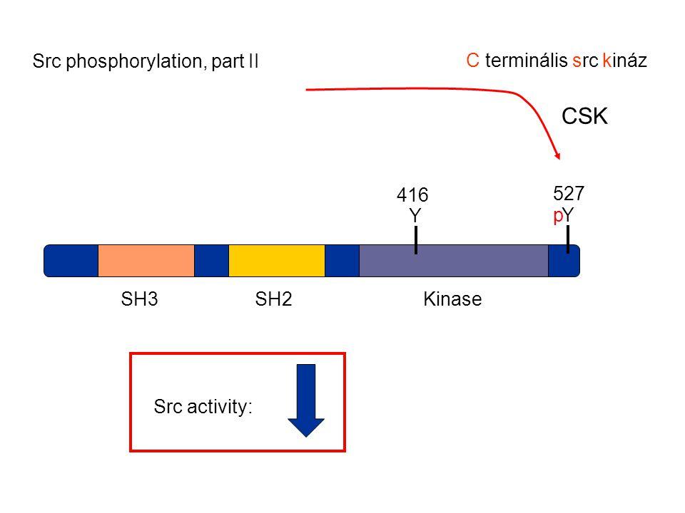 SH3SH2Kinase Y 416 Y 527 Src activity: p CSK Src phosphorylation, part II C terminális src kináz