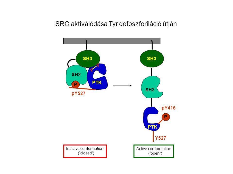 SRC aktiválódása Tyr defoszforiláció útján SH3 P P SH2 PTK pY527 Inactive conformation ( closed ) SH3 PTK Y527 P pY416 Active conformation ( open ) SH2
