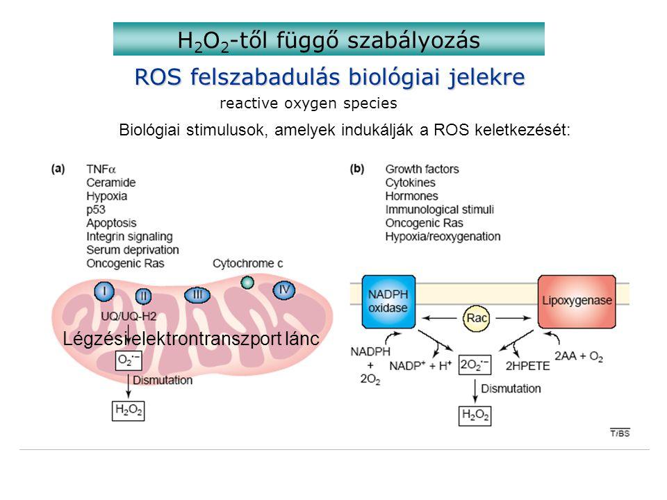 ROS felszabadulás biológiai jelekre reactive oxygen species H 2 O 2 -től függő szabályozás Biológiai stimulusok, amelyek indukálják a ROS keletkezését: Légzési elektrontranszport lánc