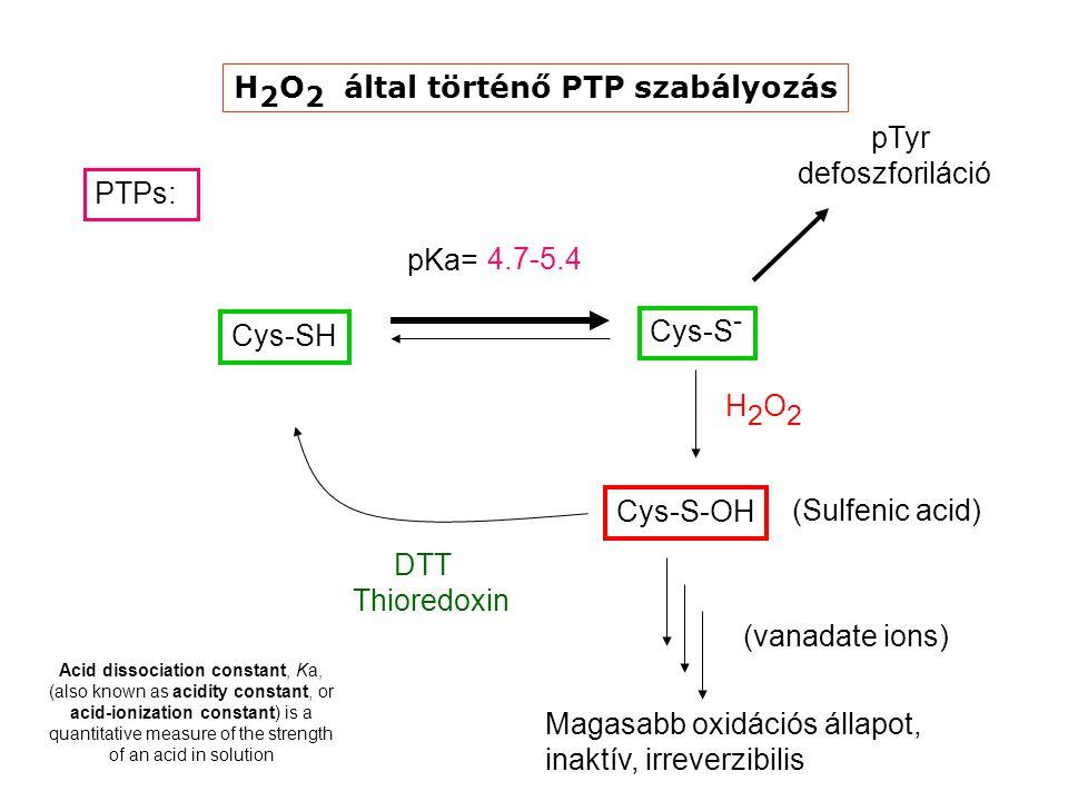 PTPs: Cys-SH pKa= Cys-S-OH H2O2H2O2 (Sulfenic acid) Cys-S - DTT Thioredoxin Magasabb oxidációs állapot, inaktív, irreverzibilis (vanadate ions) 4.7-5.4 pTyr defoszforiláció H 2 O 2 által történő PTP szabályozás Acid dissociation constant, Ka, (also known as acidity constant, or acid-ionization constant) is a quantitative measure of the strength of an acid in solution