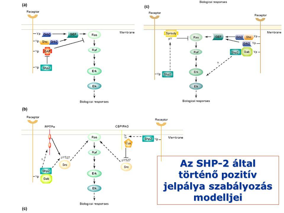 Az SHP-2 által történő pozitív jelpálya szabályozás modelljei
