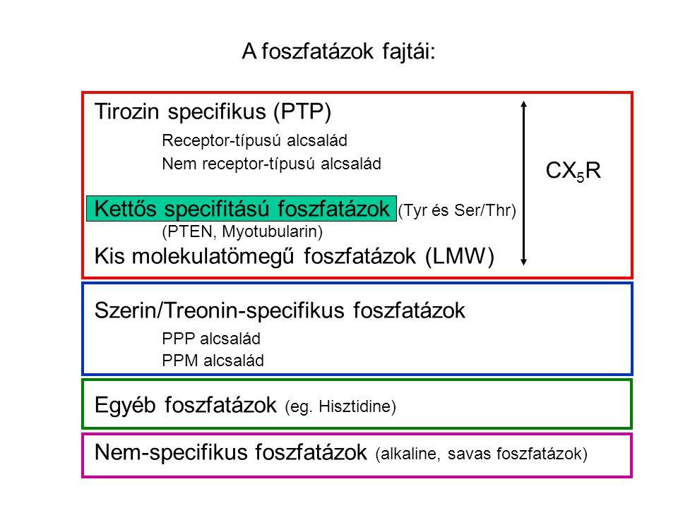 A foszfatázok fajtái: Tirozin specifikus (PTP) Receptor-típusú alcsalád Nem receptor-típusú alcsalád Kettős specifitású foszfatázok (Tyr és Ser/Thr) (PTEN, Myotubularin) Kis molekulatömegű foszfatázok (LMW) Szerin/Treonin-specifikus foszfatázok PPP alcsalád PPM alcsalád Egyéb foszfatázok (eg.