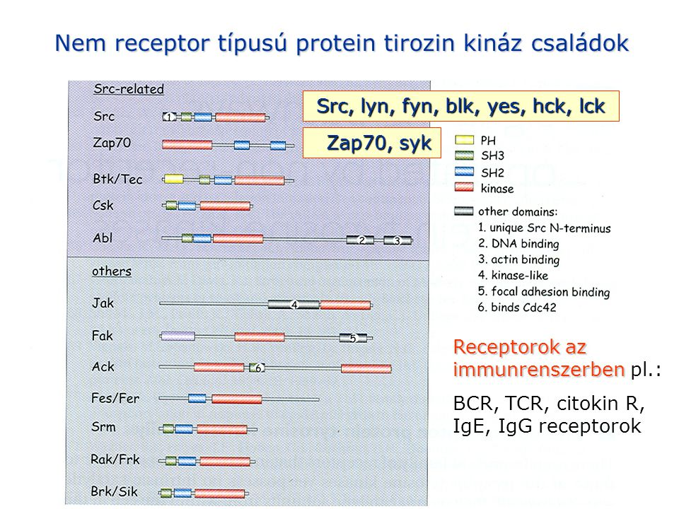 STAT aktiváció az interferon receptor jelátvitel során IRF: interferon regulatory factor ISGF: interferon- stimulated gene complex 3 ISRE: interferon stimulated response element