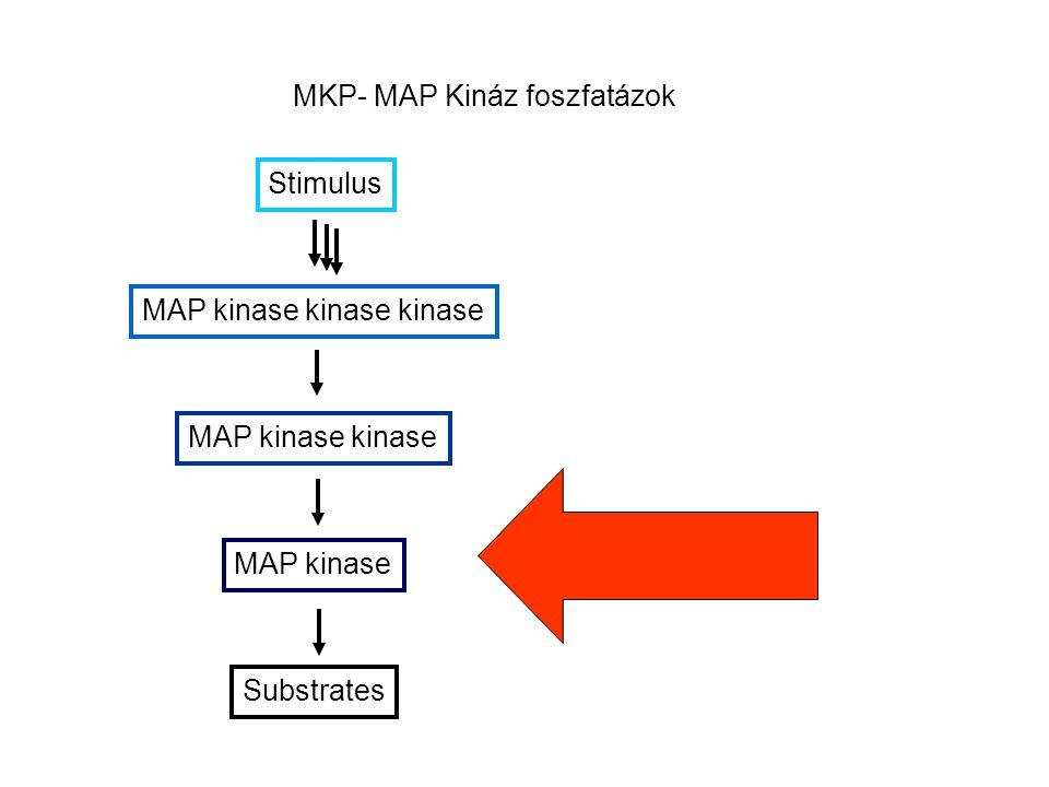 MKP- MAP Kináz foszfatázok Stimulus MAP kinase kinase kinase MAP kinase kinase MAP kinase Substrates