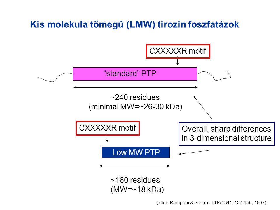 Kis molekula tömegű (LMW) tirozin foszfatázok standard PTP Low MW PTP ~240 residues (minimal MW=~26-30 kDa) ~160 residues (MW=~18 kDa) CXXXXXR motif (after: Ramponi & Stefani, BBA 1341, 137-156, 1997) Overall, sharp differences in 3-dimensional structure