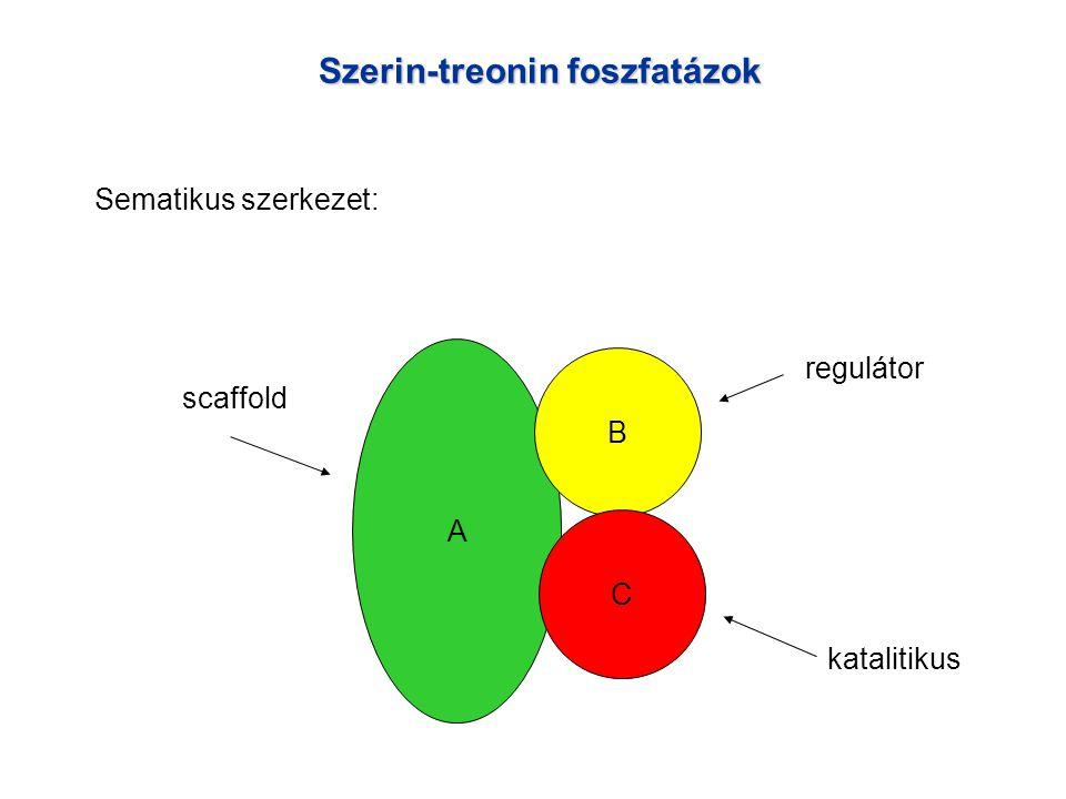 Szerin-treonin foszfatázok Sematikus szerkezet: A B C scaffold regulátor katalitikus