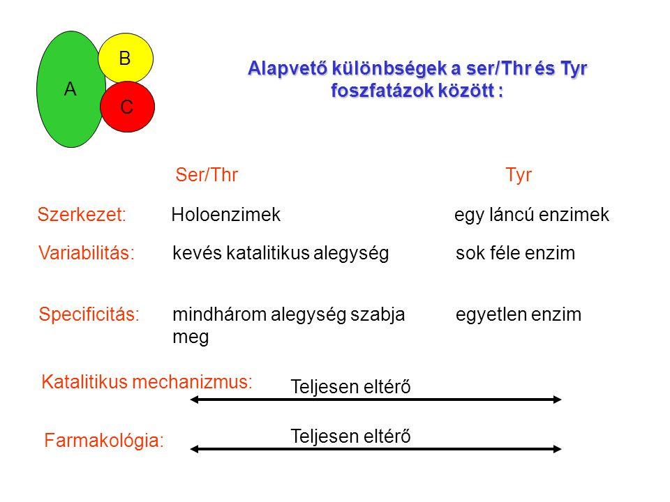 A B C Alapvető különbségek a ser/Thr és Tyr foszfatázok között : Ser/Thr Tyr Szerkezet: Holoenzimek egy láncú enzimek Variabilitás:kevés katalitikus alegység sok féle enzim Specificitás:mindhárom alegység szabja egyetlen enzim meg Katalitikus mechanizmus: Teljesen eltérőFarmakológia: Teljesen eltérő